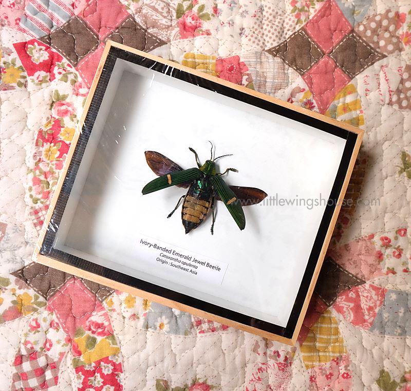 ++ แมลงสต๊าฟ กล่องแมลง แมลงทับแถบมรกต Ivory Banded Emerald Jewel Beetle // แบบกางปีก ++