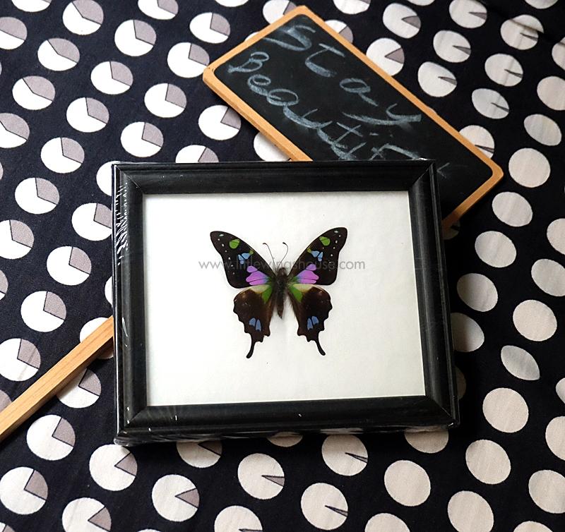 ++ ผีเสื้อสต๊าฟ กรอบผีเสื้อหางติ่งเวสกี้ The Purple Spotted Swallowtail (Graphium weiskei) ++