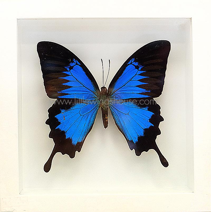 ++ ผีเสื้อสต๊าฟ กล่องผีเสื้อเซ็ทลอย ผีเสื้อ Papilio ulysses ขายดีอันดับหนึ่ง !!! // กล่องสีขาว ++