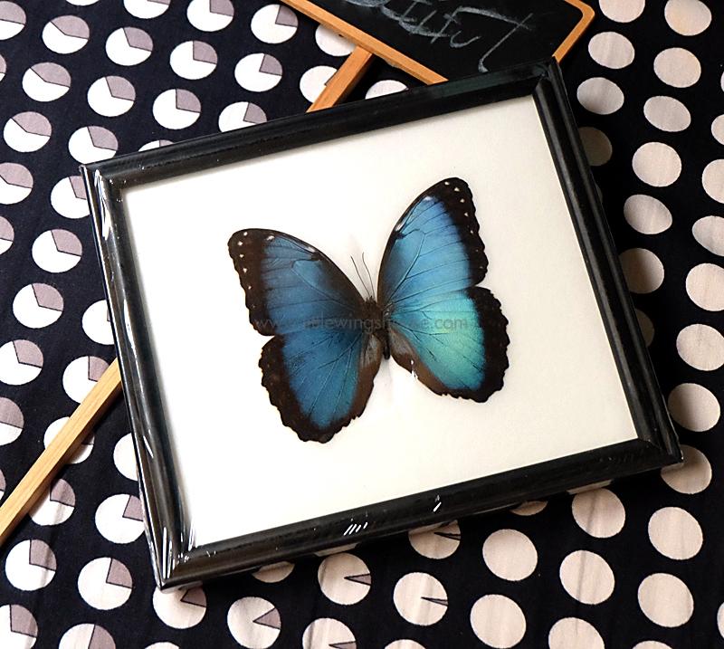 ++ ผีเสื้อสต๊าฟ กรอบผีเสื้อ Morpho deidamia เหลือบสีฟ้าสวยงาม ++