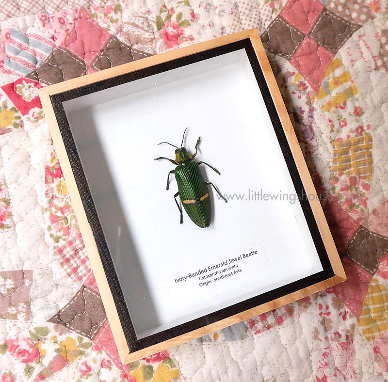 ++ แมลงสต๊าฟ กล่องแมลง แมลงทับแถบมรกต Ivory Banded Emerald Jewel Beetle ++