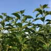 สวนสมุนไพร เกษตรอินทรีย์ ป่าช้าหมอง สมุนไพรลดเบาหวาน ความดัน เก๊าต์