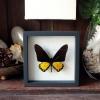 ++ ผีเสื้อสต๊าฟ กล่องผีเสื้อเซ็ทลอย ผีเสื้อถุงทอง ตัวผู้ (Birdwing) // กล่องสีดำ ++