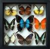 ++ ผีเสื้อสต๊าฟ กล่องผีเสื้อเซ็ทลอย 9 ชนิด ไฮไลท์ผีเสื้อหางติ่งสีเขียวน้ำทะเล Papilio lorquinianus // กล่องสีดำ ++