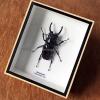 ++ แมลงสต๊าฟ กล่องแมลง ด้วงคีม Odontolabis siva ++
