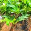 พันธ์ุต้นสาเก ราคา 150฿ สูง 80-100 เซ็นติเมตร