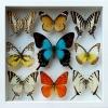 ++ ผีเสื้อสต๊าฟ กล่องผีเสื้อเซ็ทลอย 9 ชนิด ไฮไลท์ผีเสื้อหางติ่งสีเขียวน้ำทะเล Papilio lorquinianus // กล่องสีขาว ++