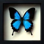 ++ ผีเสื้อสต๊าฟ กล่องผีเสื้อเซ็ทลอย ผีเสื้อ Papilio ulysses ขายดีอันดับหนึ่ง !!! // กล่องสีดำ ++