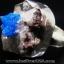 แคแวนไซต์ Cavansite-แหวนเงินแท้ 925 (แหวนเบอร์ : 57) 8.5g thumbnail 1