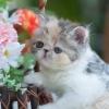 เปิดจองแมว Exotic SH CFA ผู้หญิง สามสีคาลิโก้