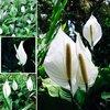 """"""" ดอกเดหลี """" ดอกไม้สีขาว ดูดสารพิษ สวยงาม หรูหรา"""