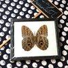 ++ ผีเสื้อสต๊าฟ กรอบผีเสื้อนกฮูก Owl Butterfly (สกุล Caligo) ++